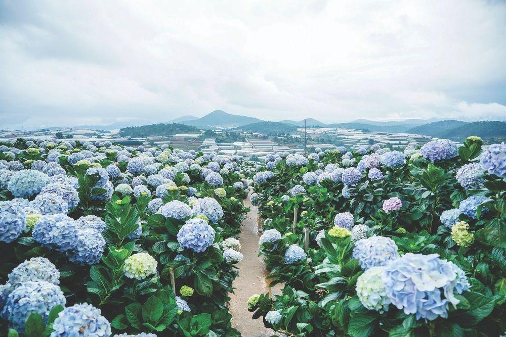 Hydrangea Fields Forever In 2020 Hydrangea Plants Fields