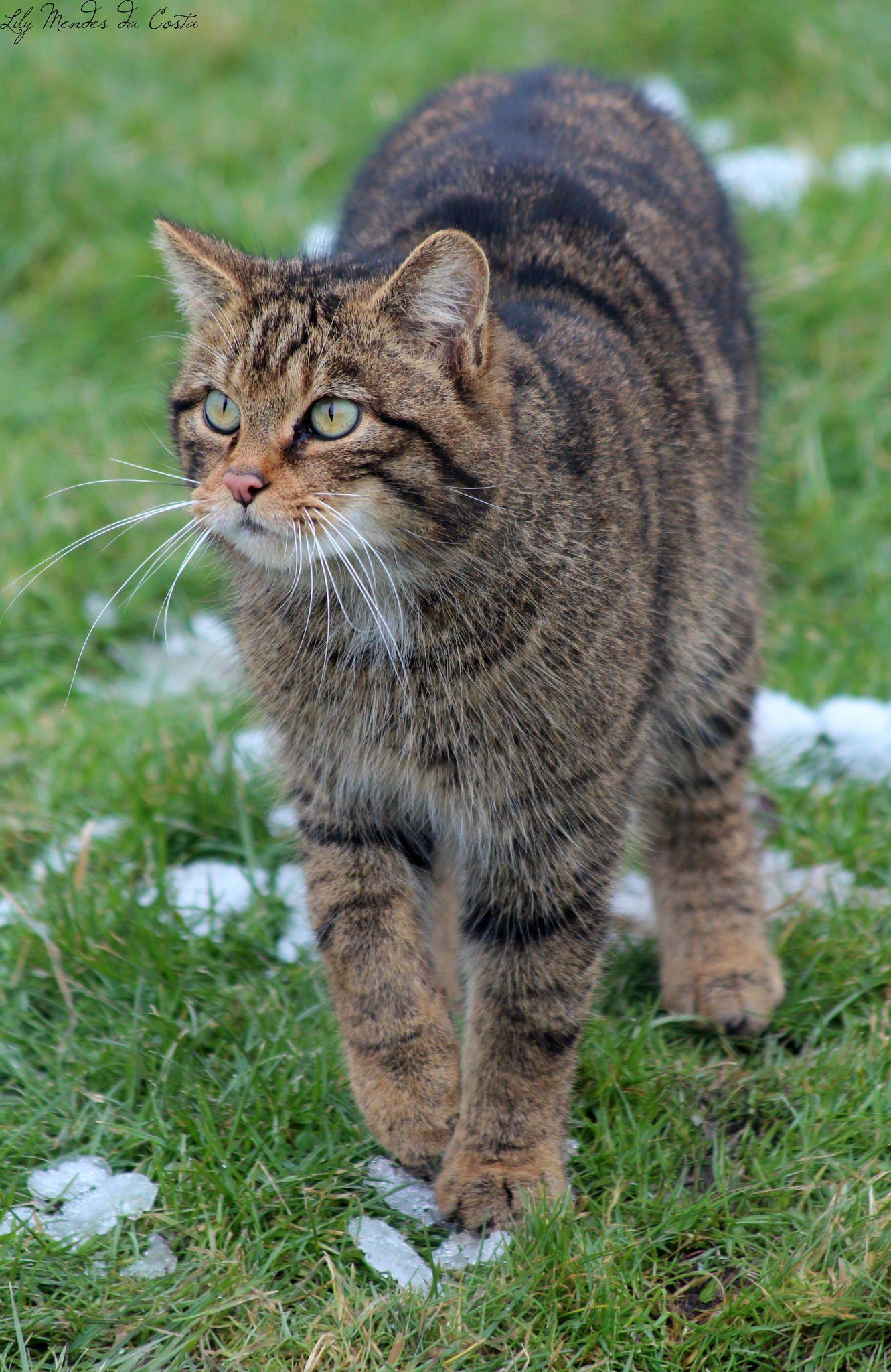 Scottish Wildcat Felis Silvestris Grampia Wild Cats Small Wild