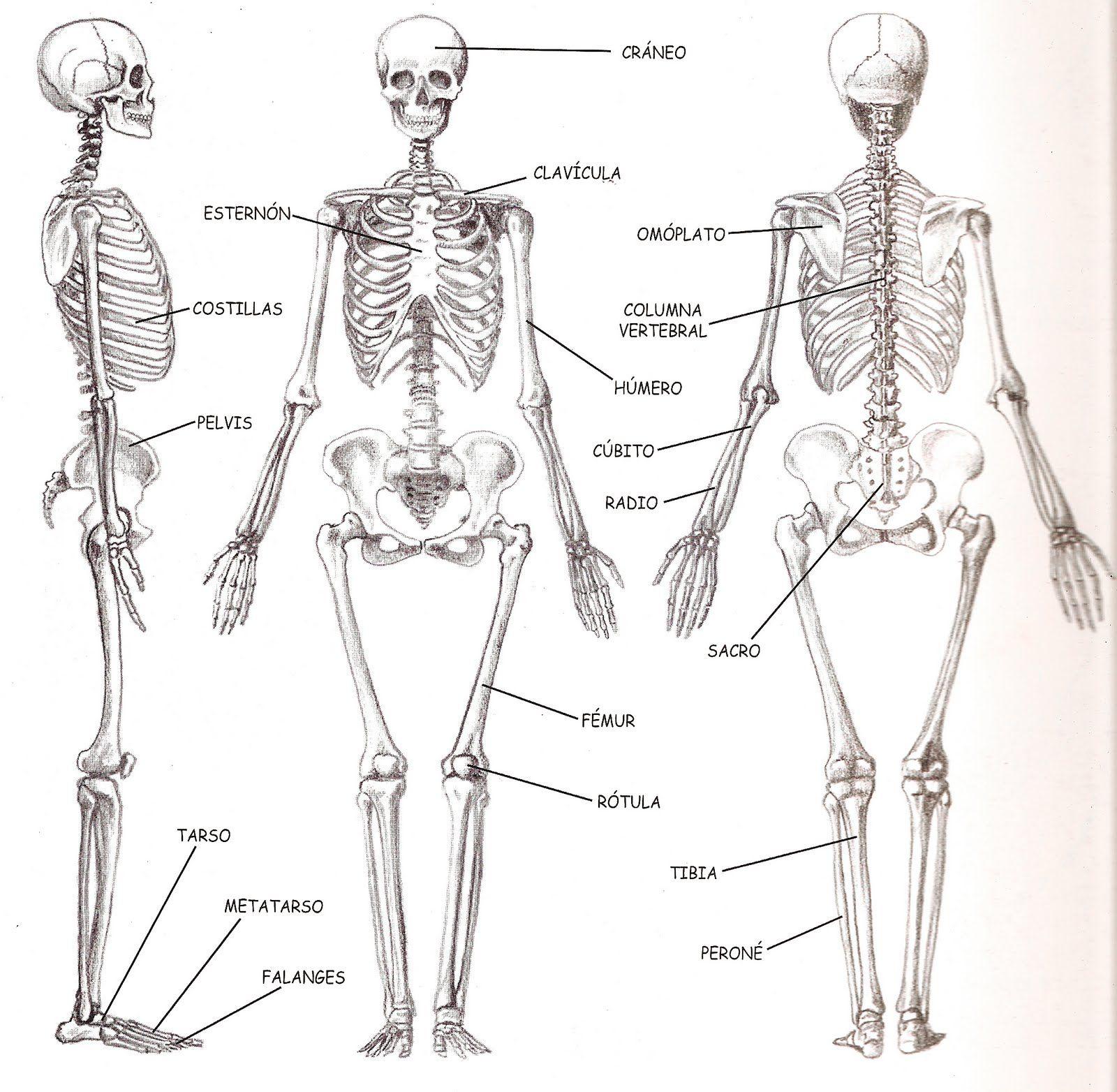 Esqueleto humano | Figurines | Pinterest | Estructura ósea humana ...
