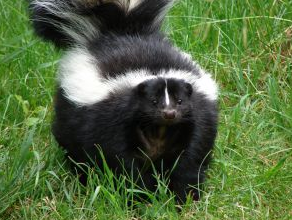 Skunk In Backyard how to get rid of skunks in your backyard | garden wishlist