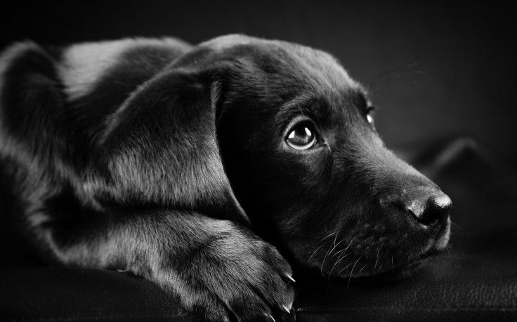 Dog Animals Labrador Retriever Black Puppies Closeup Face Black Background Hd Wallpaper Desktop Background Black Puppy Black Dog Labrador Retriever