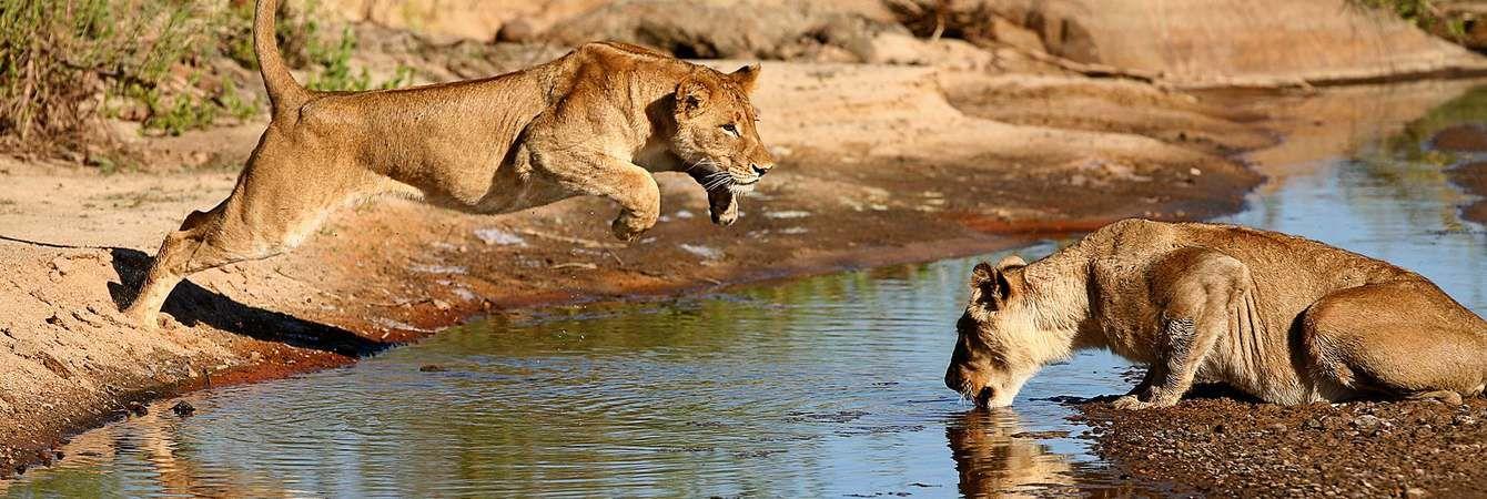 Delta Lions