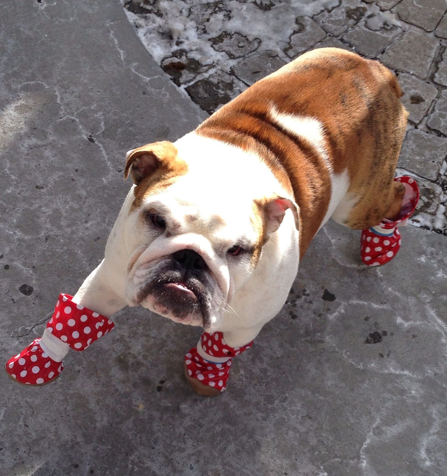 English Bulldog With Red Boots Honden