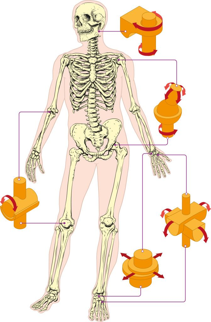 Joints In The Human Body Kidspressmagazine Com Joints In Human Body Body Joints Human Body Anatomy