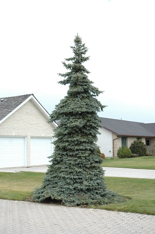 Chalet Nursery And Garden Center: Weeping Blue Spruce (Picea Pungens 'Pendula') At Chalet
