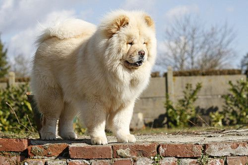 Honey Blonde Chow Chow Chow Chow Dogs Chow Chow