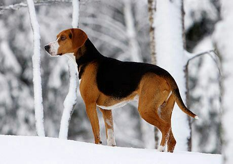 Hamiltonstovare Dog Suitable Subjects Dogs Hunting Dogs