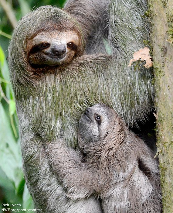 Mother and Baby Sloth, Costa Rica #babysloth