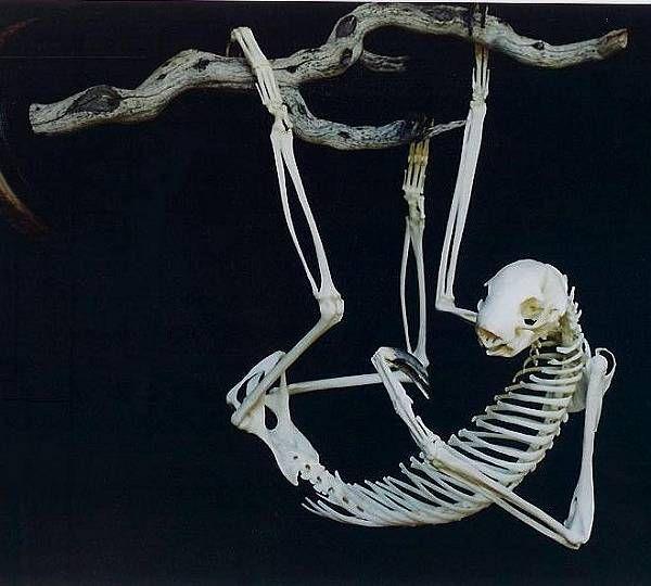Sloth skeleton. | Skeleton | Pinterest | Anatomía animal, Anatomía y ...