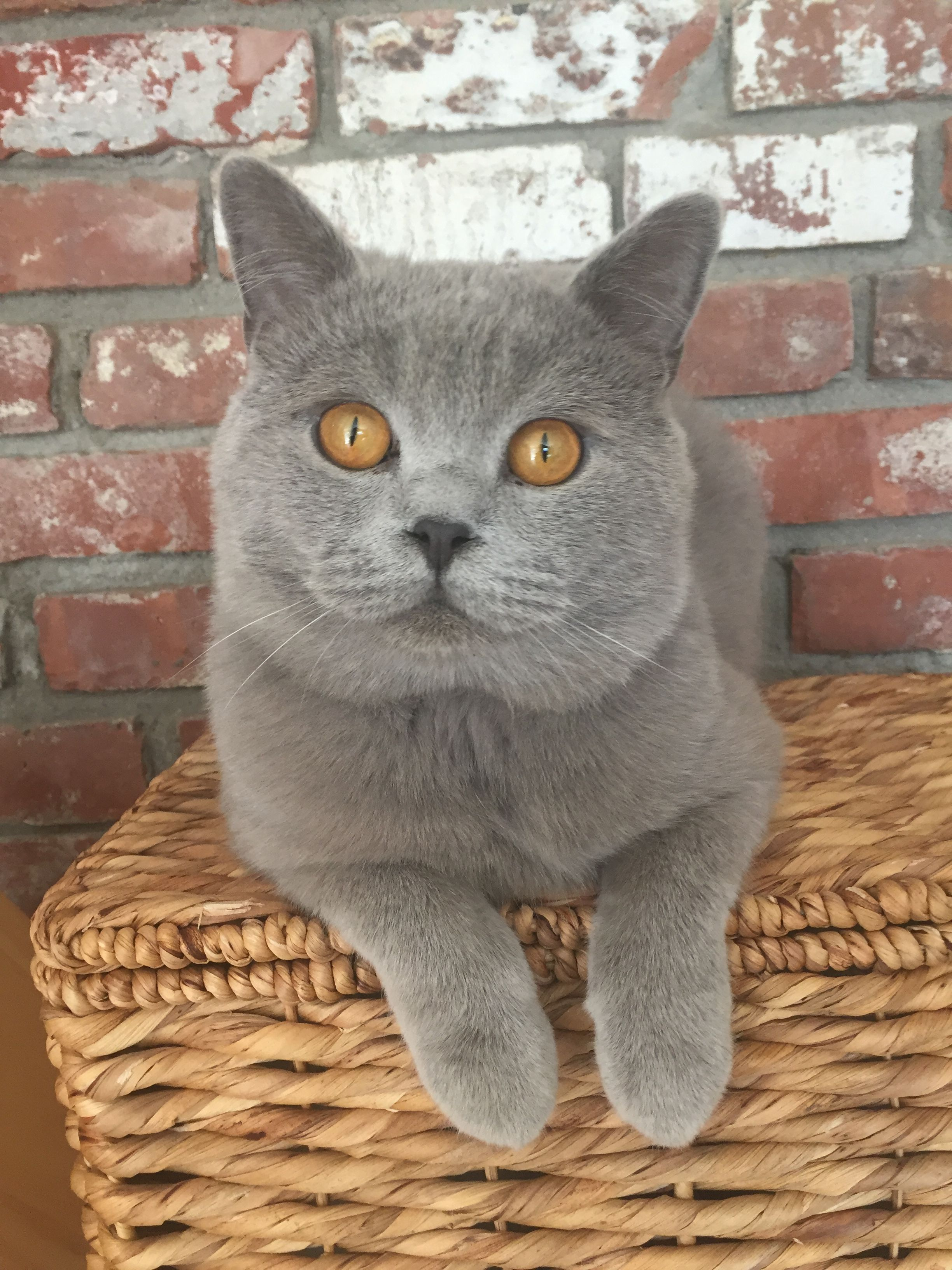 British Shorthair Cute Cats And Kittens Cute Animals Cats And