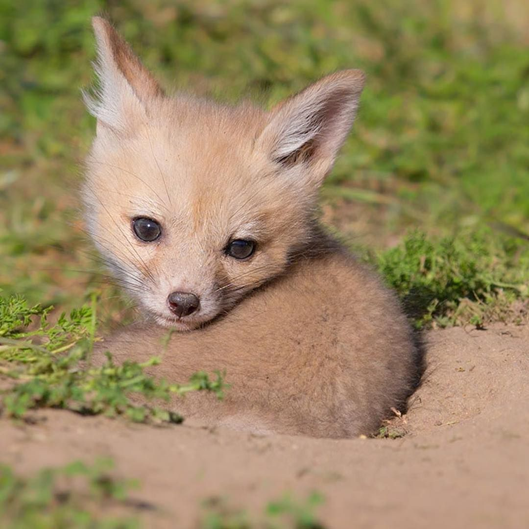 Endangered San Joaquin Kit Fox Pup Wild By Tin Man Lee Cute
