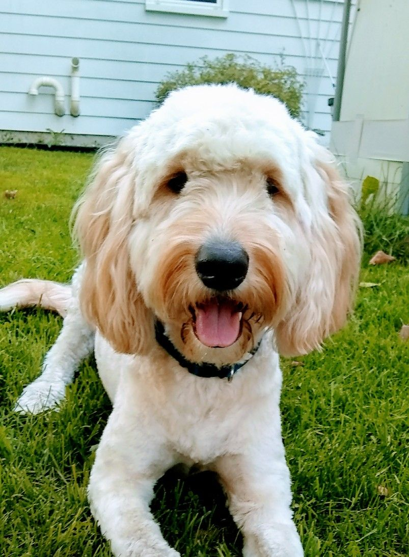 Cute Gooldendoodle Puppy Dog With Images Animals For Kids