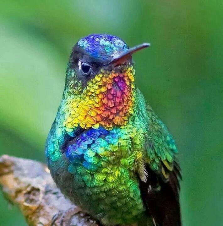 Picaflor-Mil colores