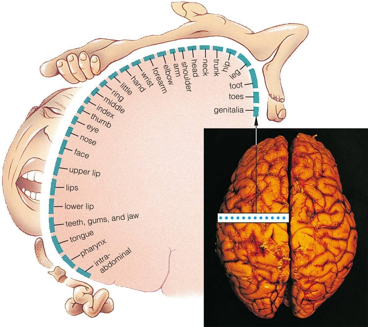 what is the function of the somatosensory system