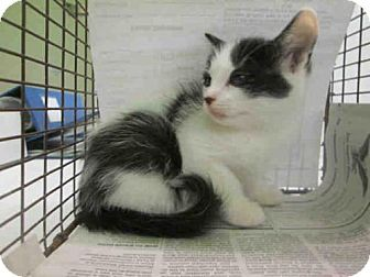 Domestic Mediumhair Kitten For Adoption In Los Angeles California A1588282 Kitten Adoption Kittens Pets