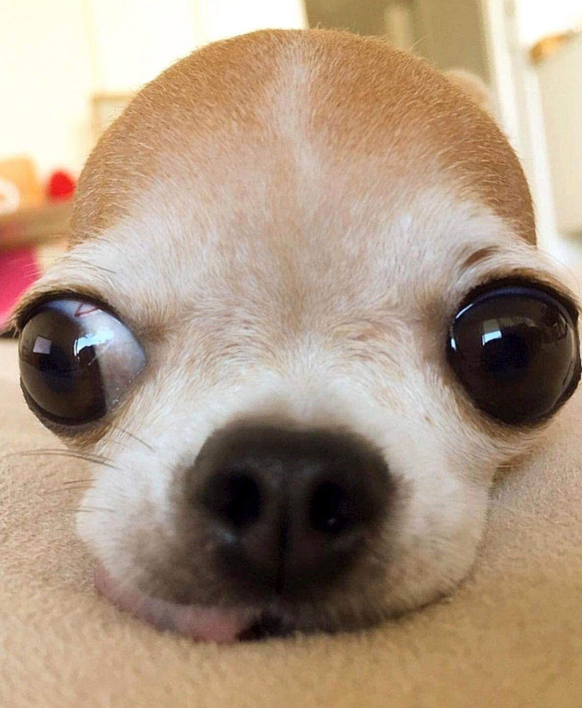 Chihuahua Chihuahua Dogs Chihuahua Chihuahua Puppies