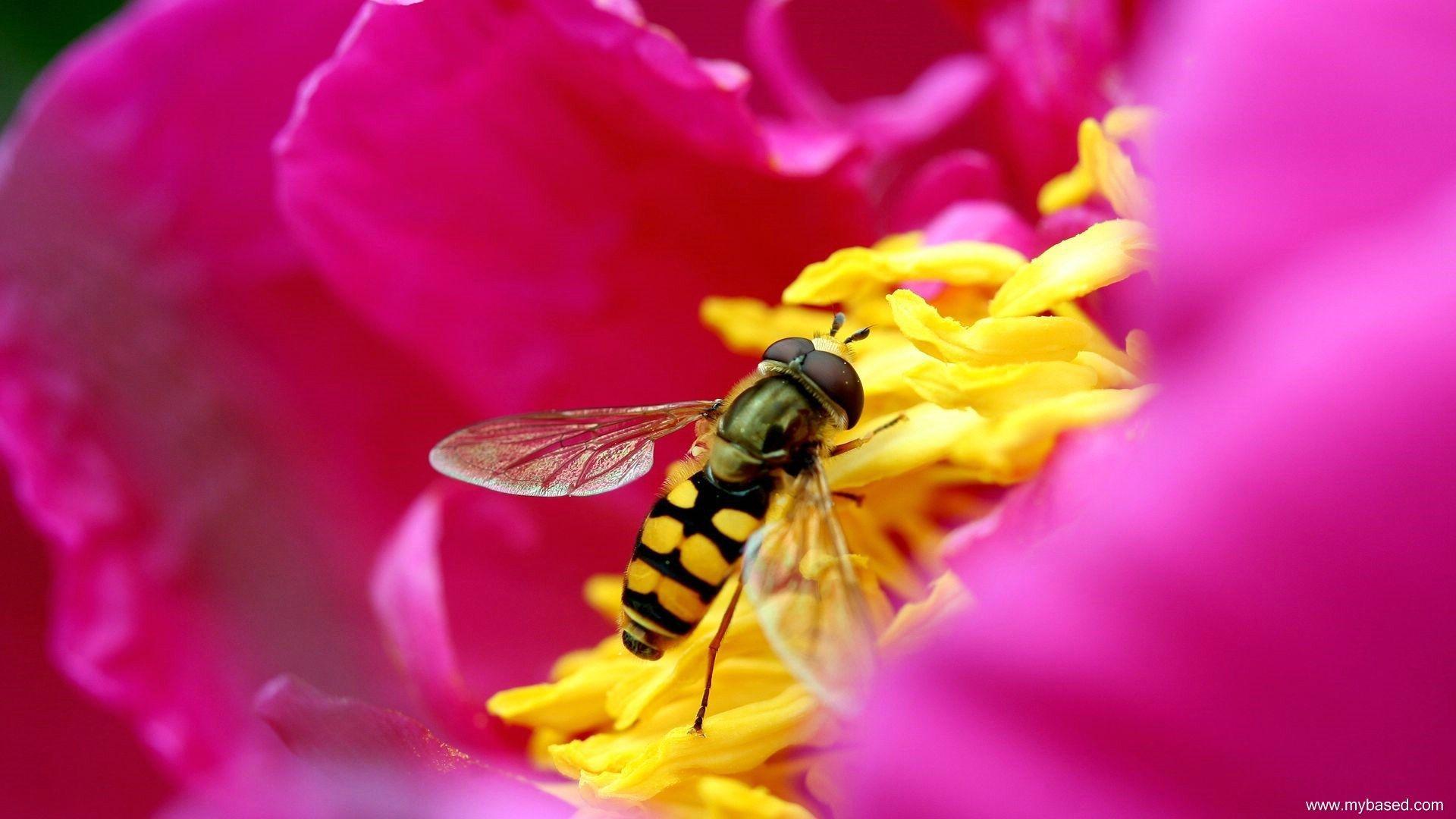 bee wallpaper pack 1080p hd (Lavar Grant 1920x1080) Bee