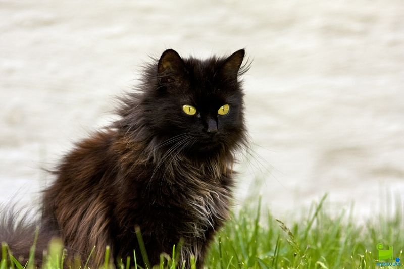 Pin By Christina Dines On Kitchen Chantilly Cat Black Cat Breeds Long Hair Cat Breeds