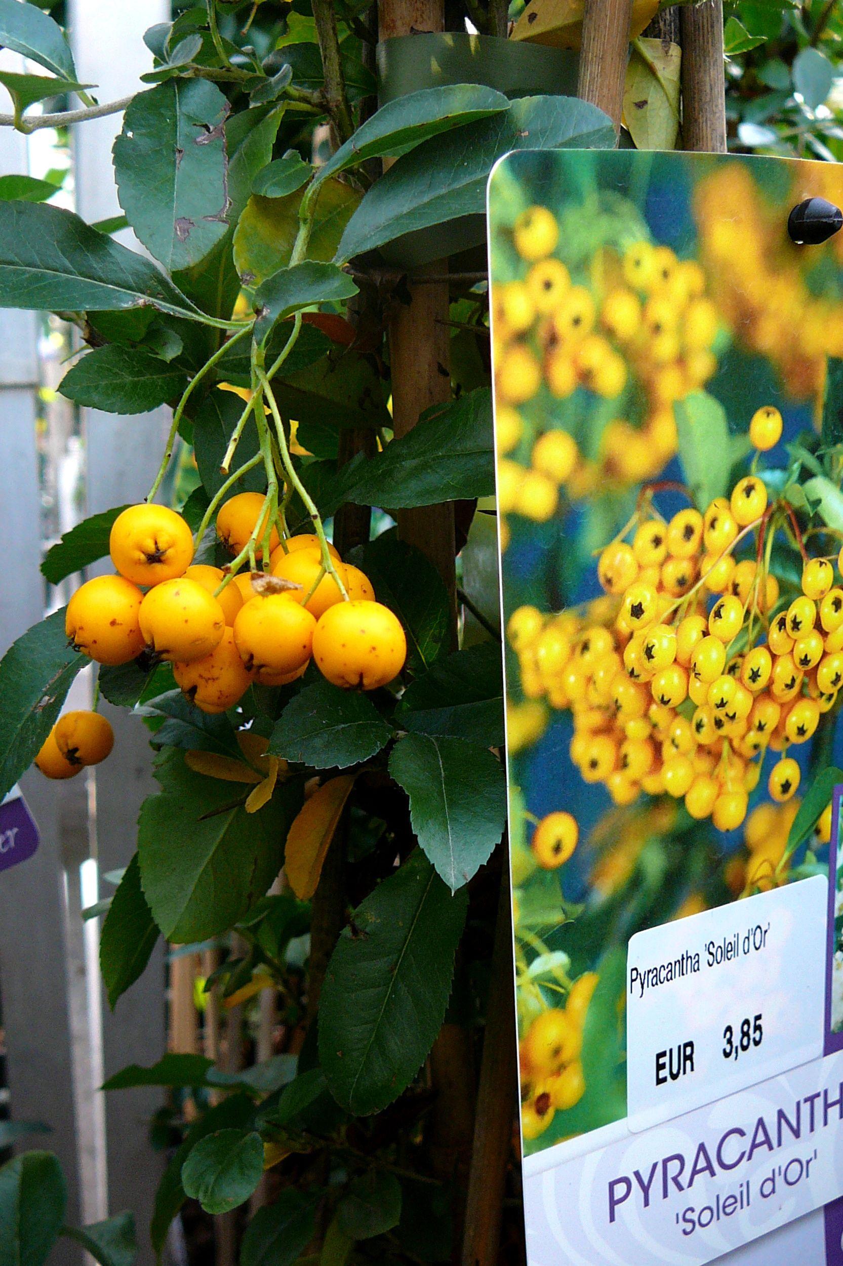 Pyracantha Soleil D Or Vuurdoorn Planten Siergrassen Bessen