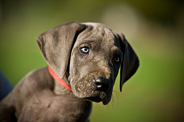 Welcome Leo Blue Great Danes Great Dane Funny Great Dane Dogs