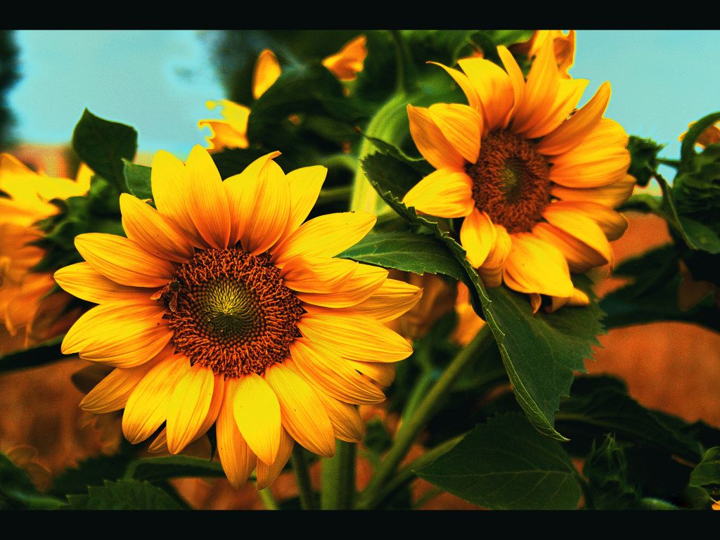 Wallpaper Foto Dan Gambar Bunga Cantik Untuk Laptop Sunflower Wallpaper Sunflowers And