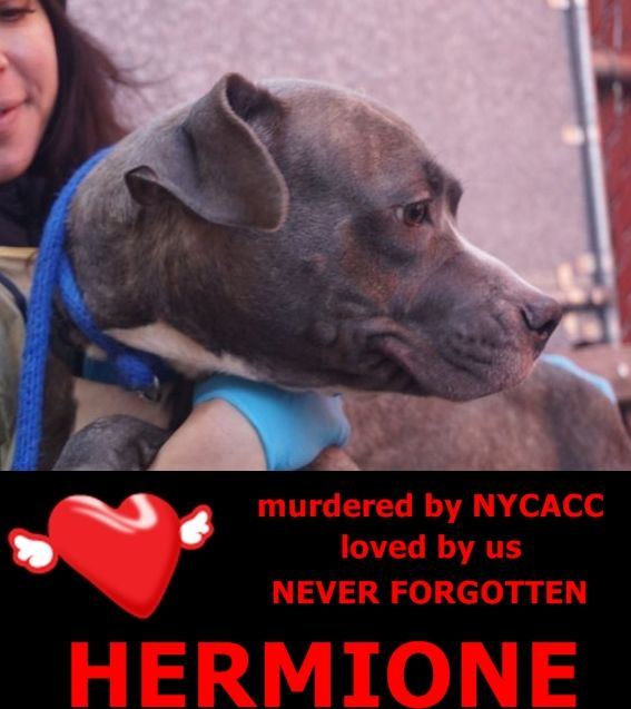 KILLED 1-20-2016 ---  Manhattan Center HARMIONE – A1062766  FEMALE, BR BRINDLE, PIT BULL MIX, 3 yrs STRAY – STRAY WAIT, NO HOLD Reason STRAY Intake condition EXAM REQ Intake Date 01/12/2016 http://nycdogs.urgentpodr.org/harmione-a1062766/