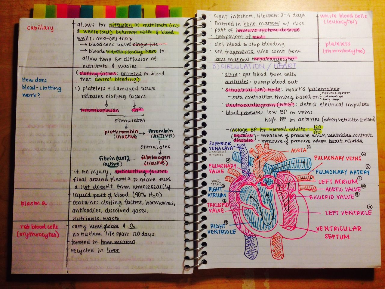 notes on blood and the heart | Science | Pinterest | Anatomía humana ...