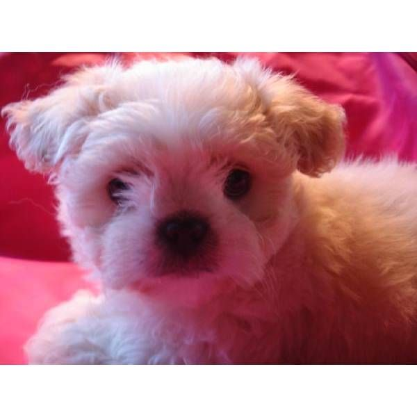 White Cream Shihpoo Shih Poo Puppies Puppies For Sale
