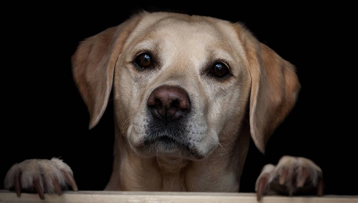 Guide Dog Rehoming >> Labrador Rescue How To Adopt A Dog A Dog Rehoming Guide