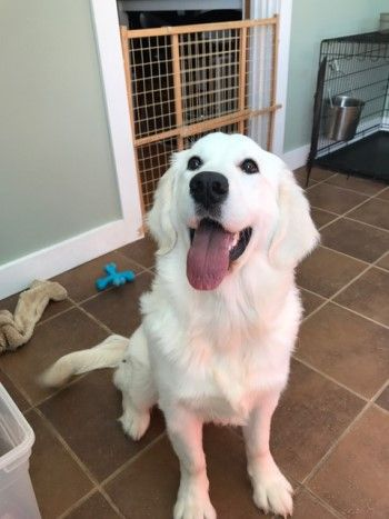 English Cream Retriever Puppies For Sale In Southern Maine Signature Gold Goldens Puppies For Sale Retriever Puppy Puppies