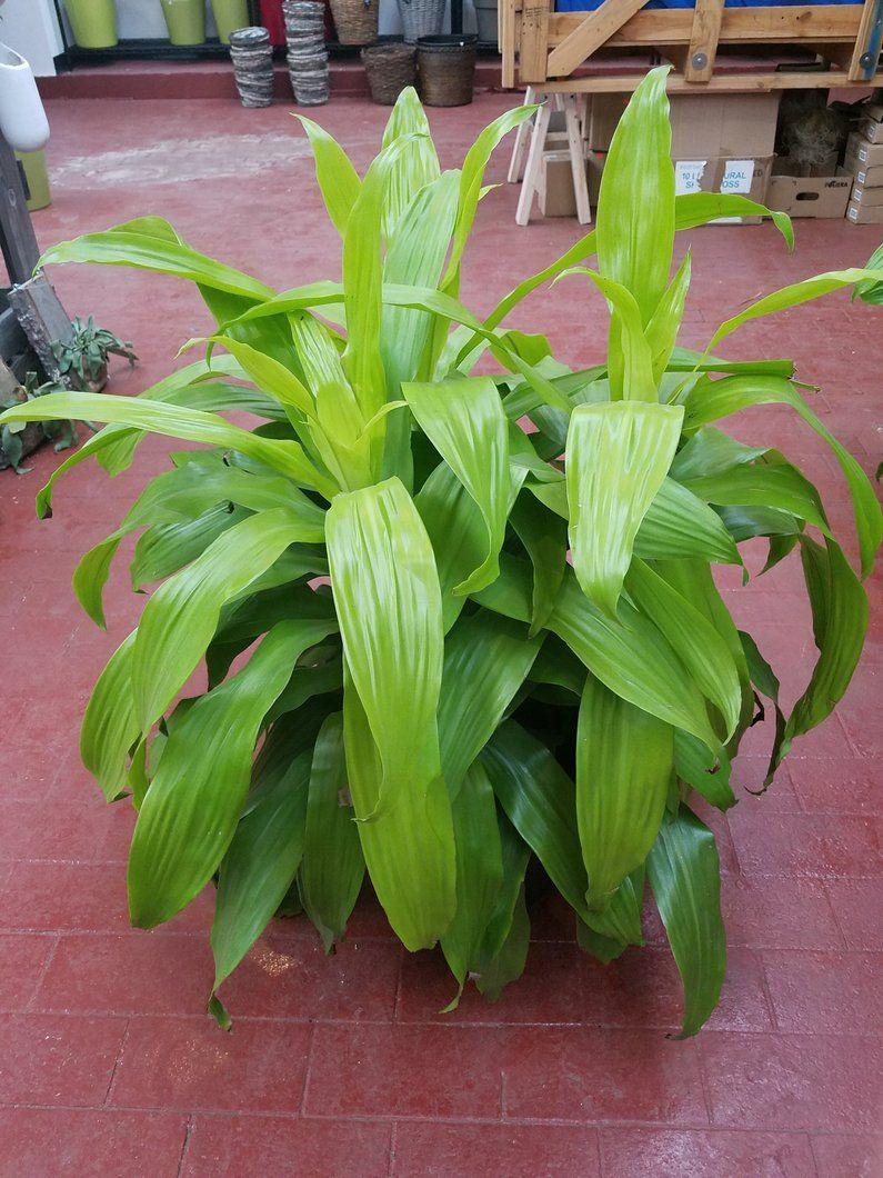 Dracaena limelight plants house plant care dracaena