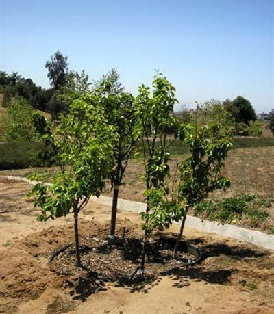 3 4 Fruit Trees In One Hole Successive Fruit All Season Long Fruit Garden Plants Fruit Trees