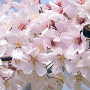 Prunus Elvins Garden Express Spring Flowering Trees Garden Express Flowering Trees