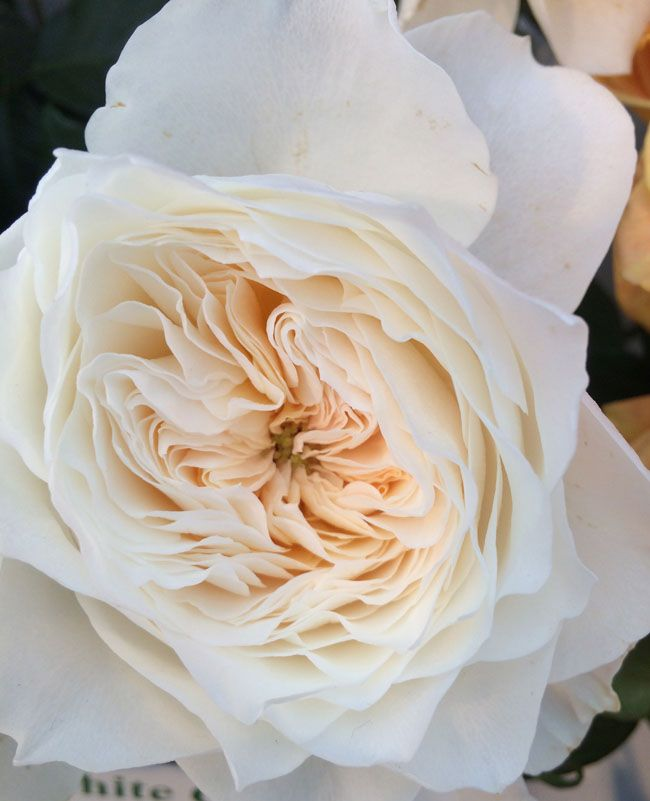 Exceptional White Cloud Garden Roses By Alexandra Farms