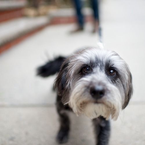 Jesse James Schnauzer Terrier Mix Park Slope Brooklyn Ny The Dogist Terrier Mix Terrier Dogs