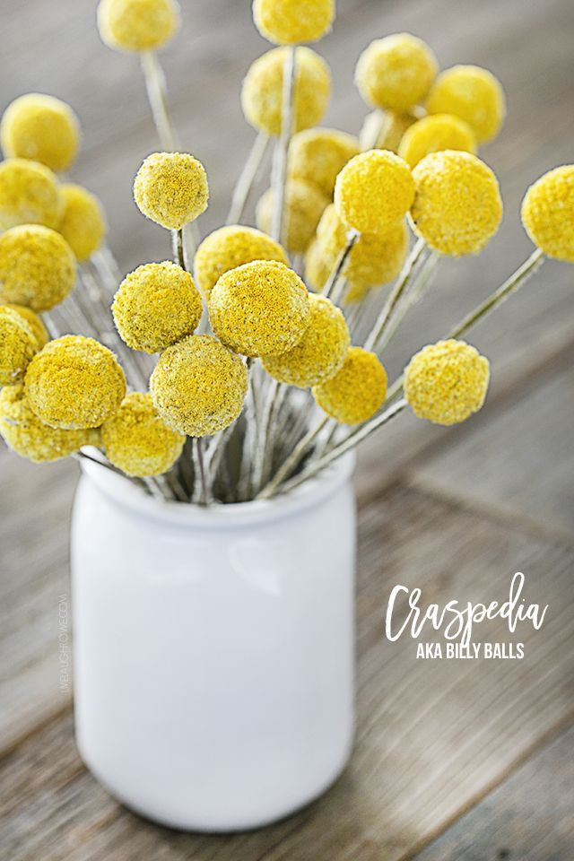 My New Favorite Thing Craspedia Live Laugh Rowe Craspedia Billy Balls Billy Buttons