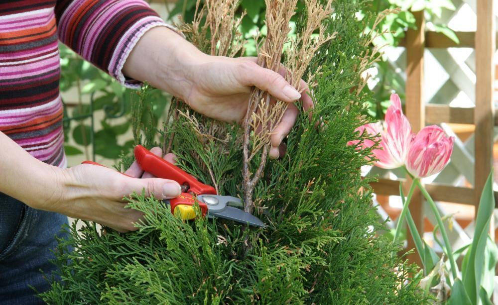 thujahecke tipps gegen braune triebe gartentipps garden plants und herbs. Black Bedroom Furniture Sets. Home Design Ideas