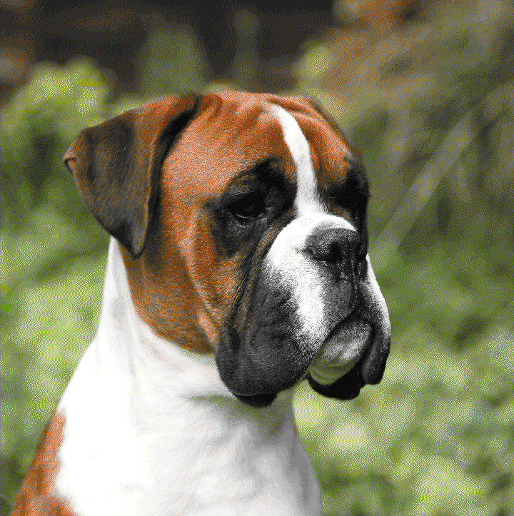 Boxer Dogs Sale In Northwich Cheshire Uk Boxer Puppy And Dogs On Puppy Planet Boxer Chien Chien Chien Chat