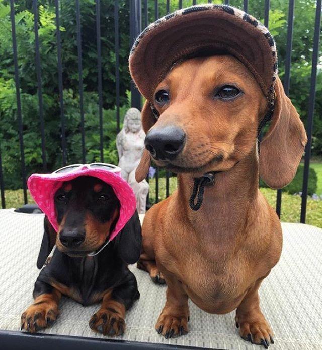Pin By Christianto Oeibisono On Animal Dachshund Hat Weenie Dogs