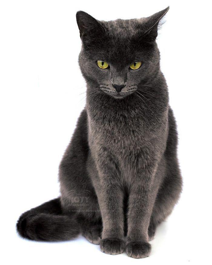Kot Korat Rasowe Koty Domowe Korat Cat Korat Cats And Kittens