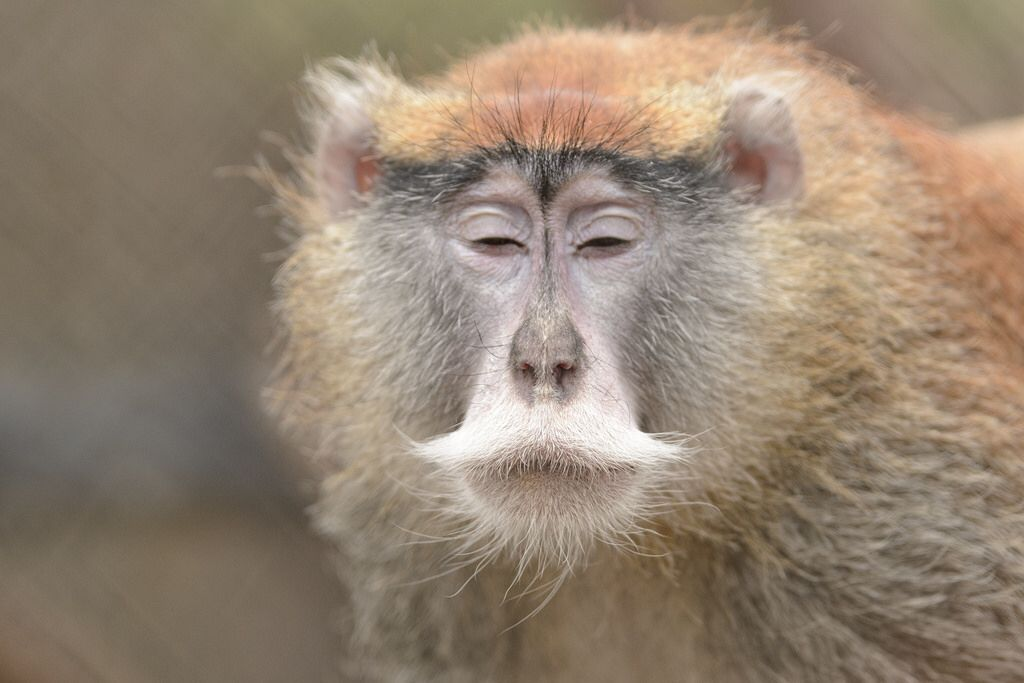 Patas Monkey Moment of Zen