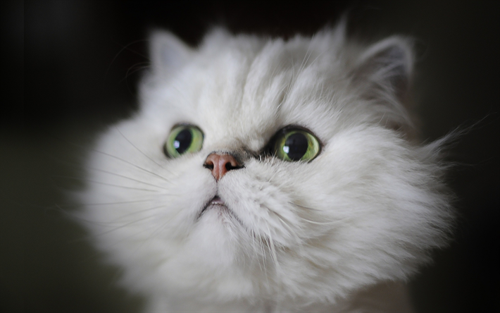 Download Wallpapers Persian Cat White Cat Fluffy Cat Cats Domestic Cats Muzzle Pets White Persian Cat Persian Besthqwallpapers Com Chat Persan Chatons Droles Comportement Chat