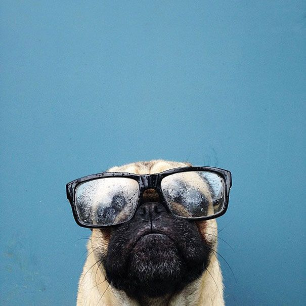 Meet Norm, Pug Who Has More Than 60,000 Instagram Followers