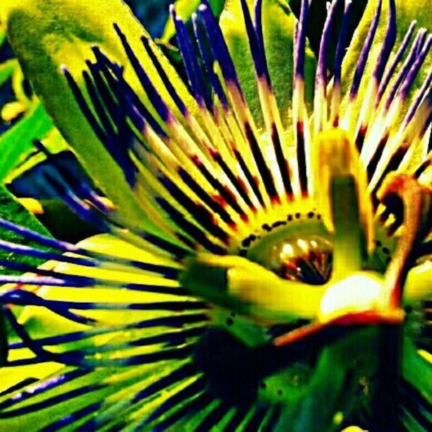 Passion Flower Amazing Flowers Passion Flower Flowers