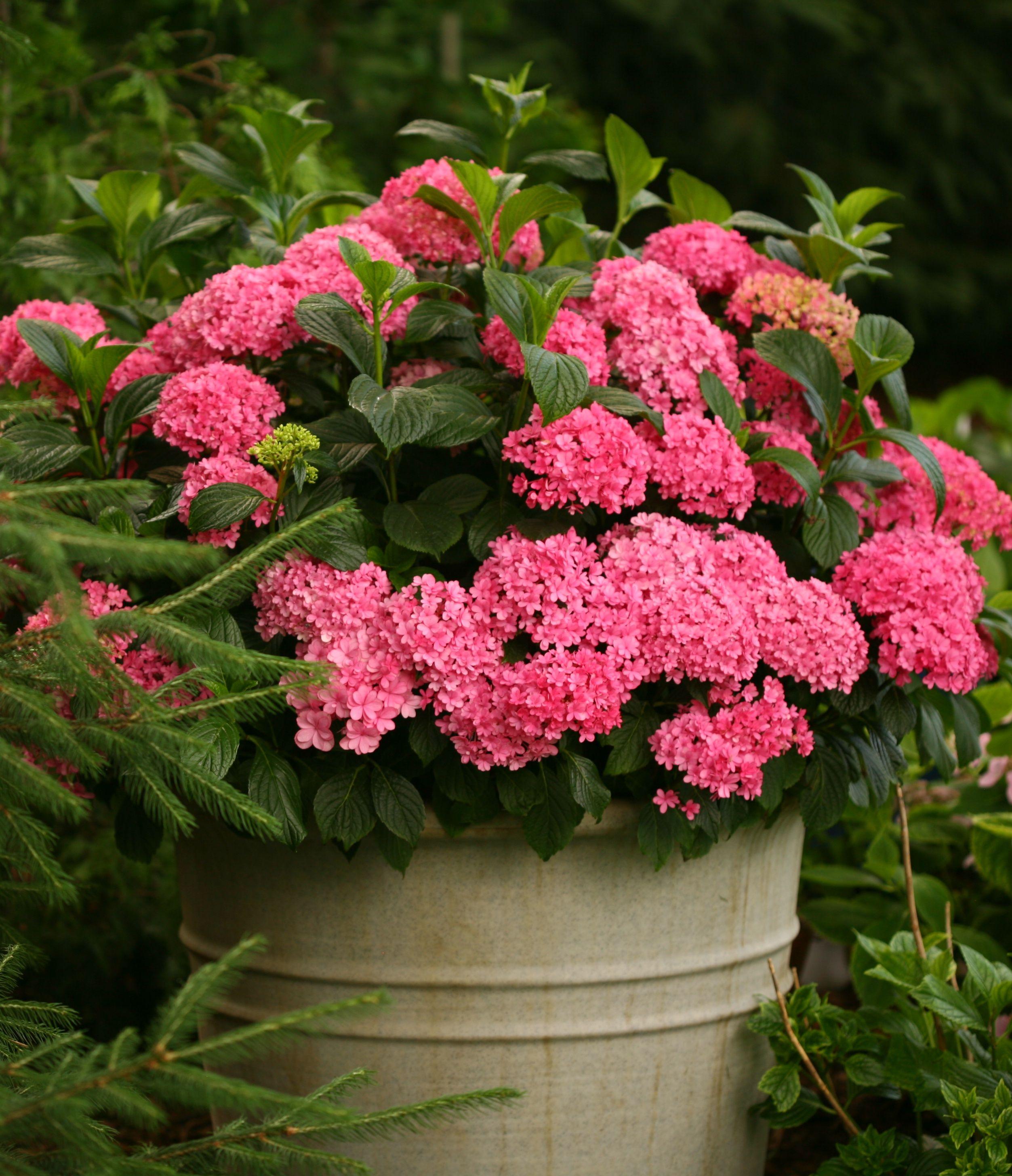 Paraplu Bigleaf Hydrangea Hydrangea Macrophylla Growing Hydrangeas Hydrangea Varieties Hydrangea Not Blooming