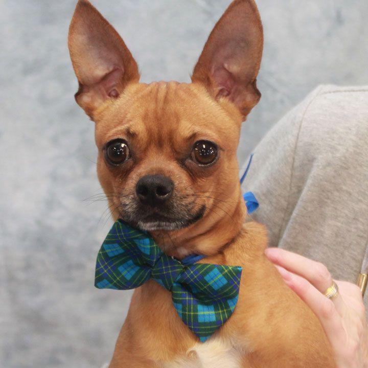 Chug dog for Adoption in Garfield Heights, OH. ADN783552