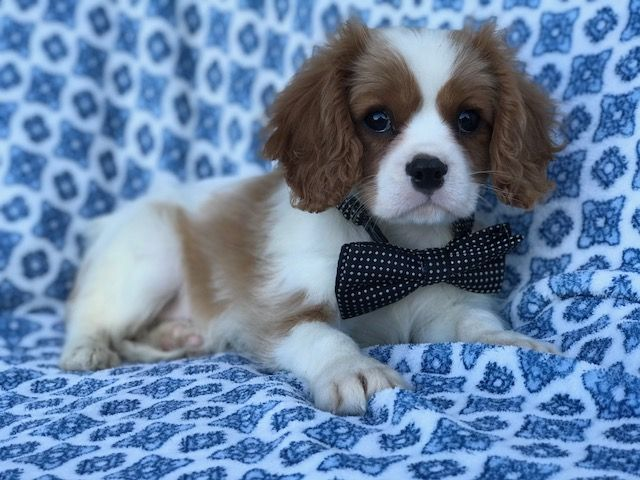 Cavalier King Charles Spaniel Puppy For Sale In East Earl Pa Adn