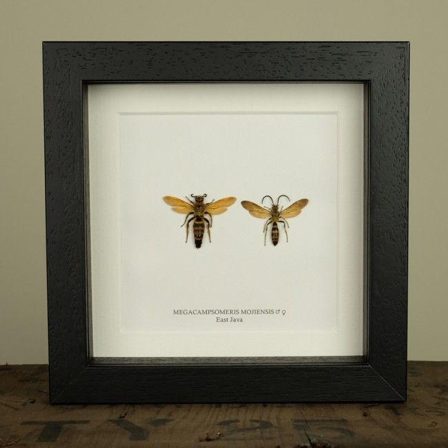 Megacampsomeris Mojiensis in Box Frame (Pair)