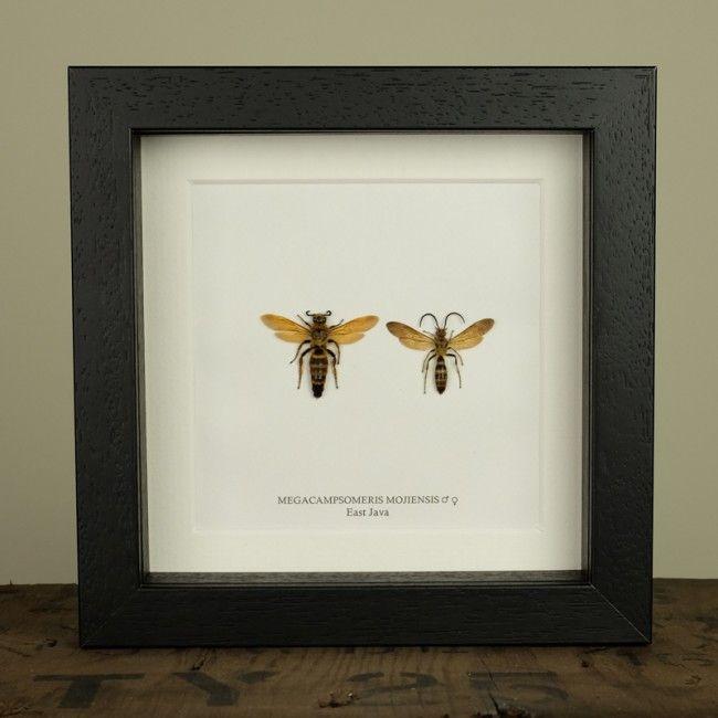 Megacampsomeris Mojiensis in Box Frame (Pair)