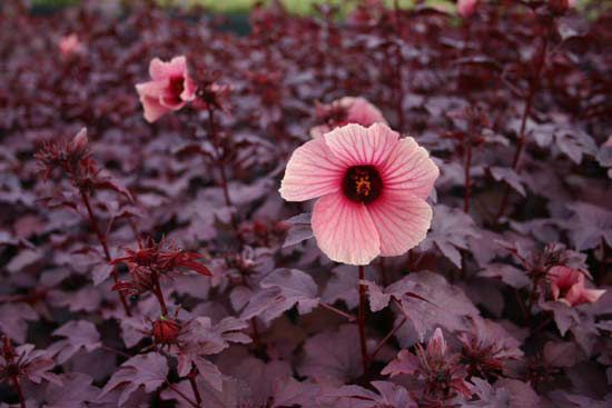 Are Irrigation Systems Beneficial Garden Hibiscus Plant